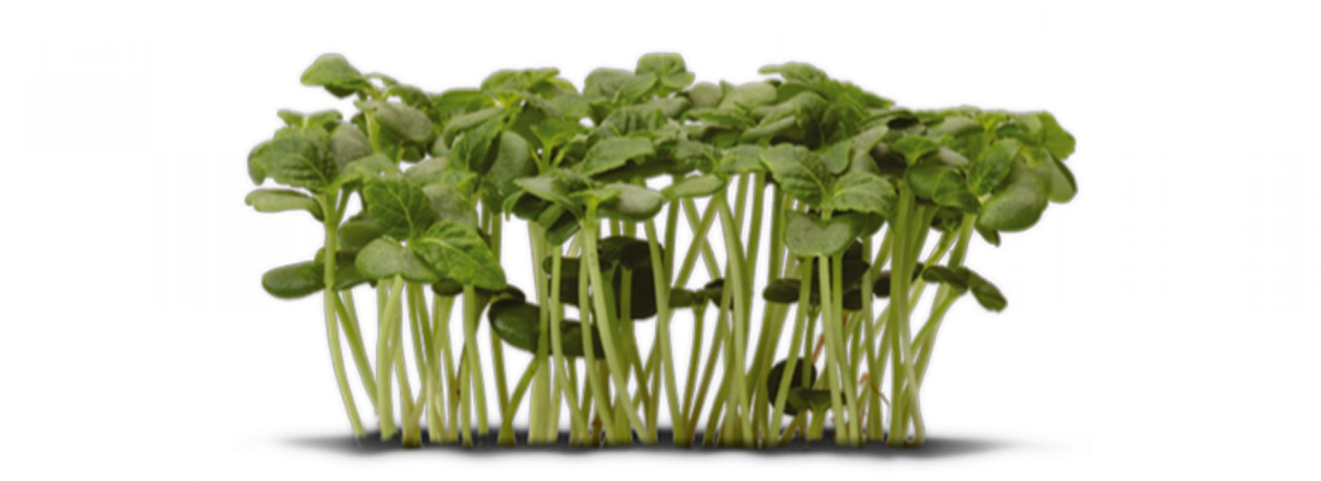 Borage Cress