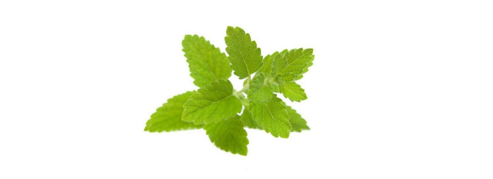 Herb Lemon Melisse