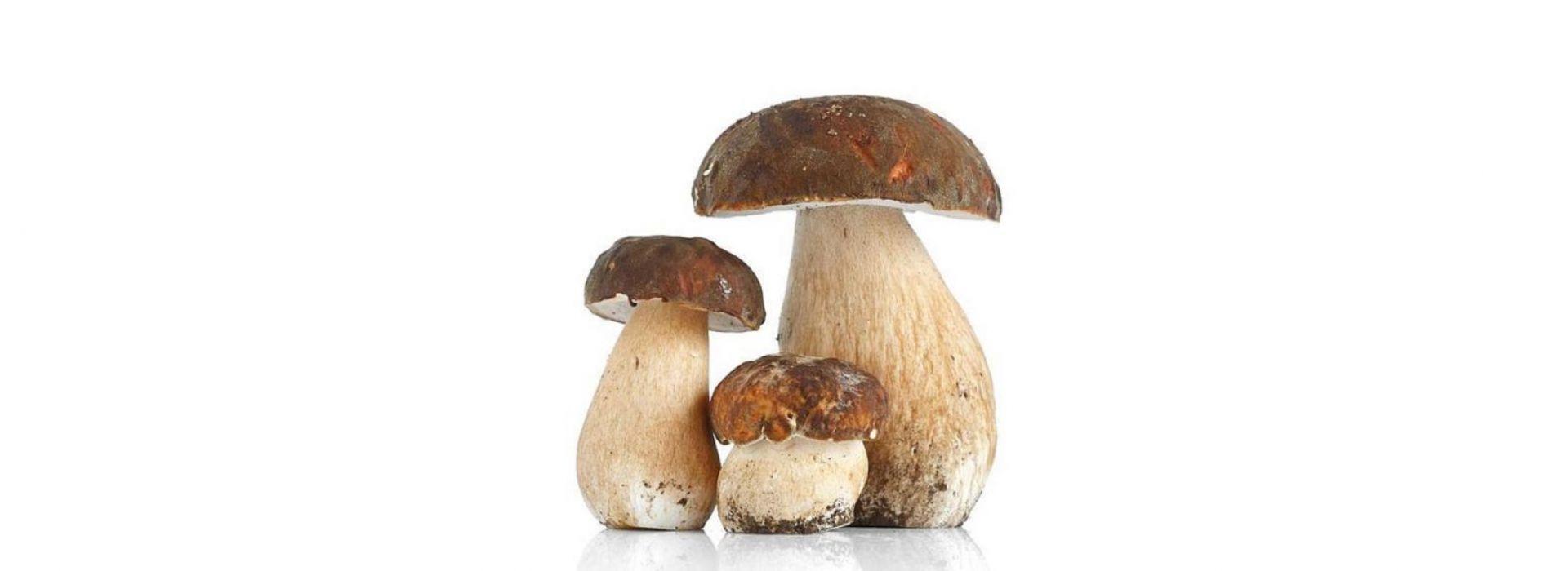 Mushroom Ceps