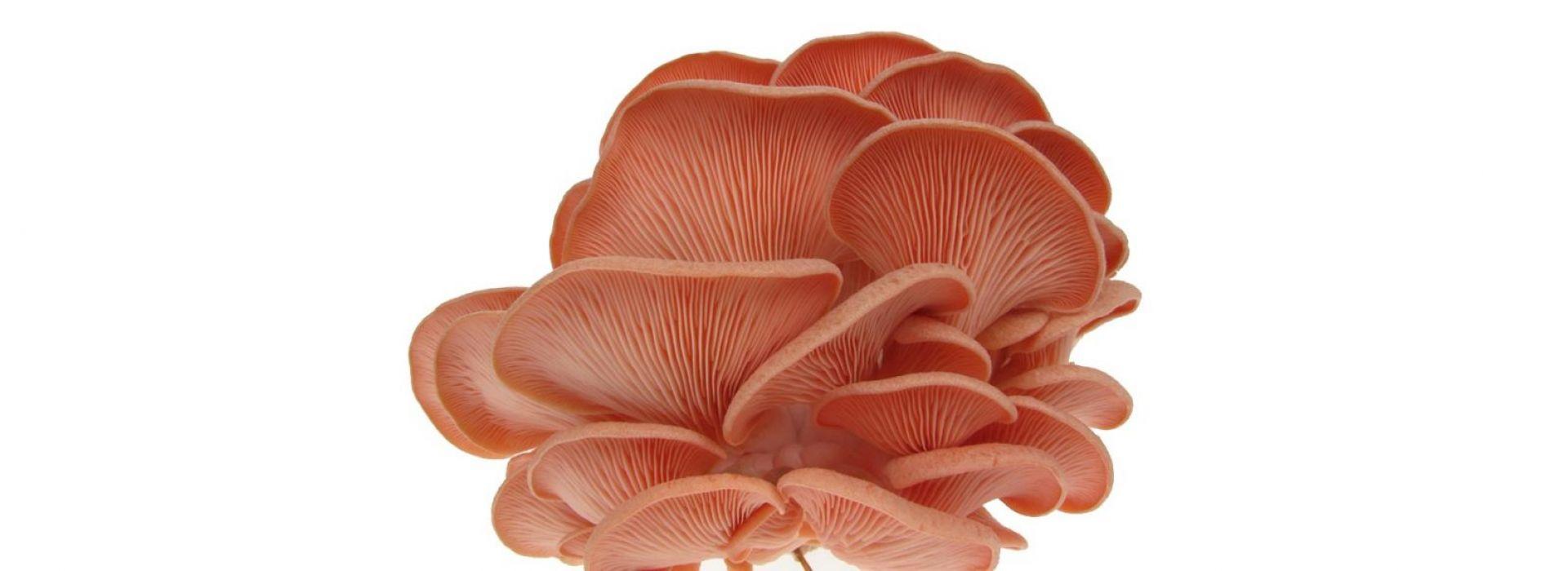 Mushroom Oyster White, Pink & Yellow
