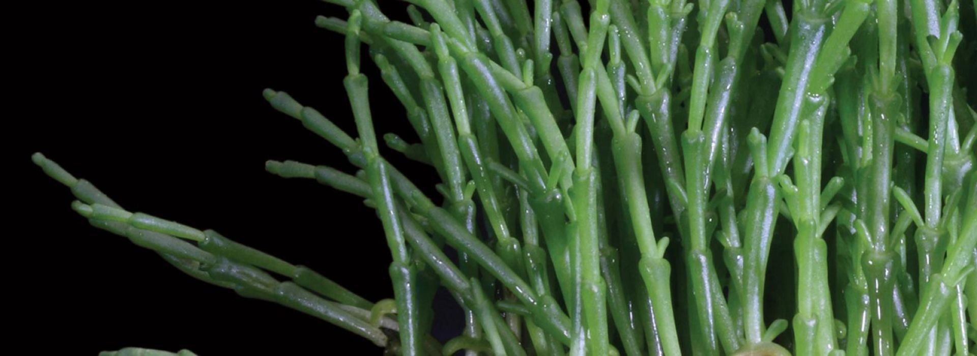 Salicornia Cress