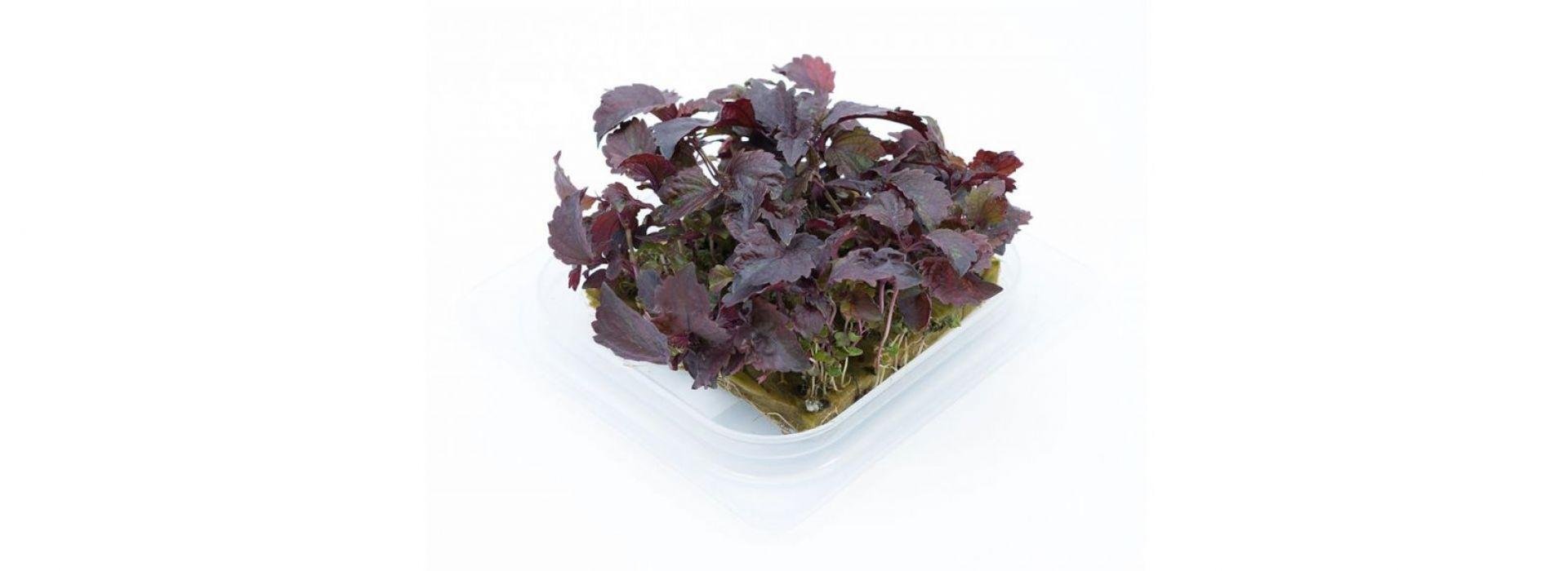 Shiso Purple