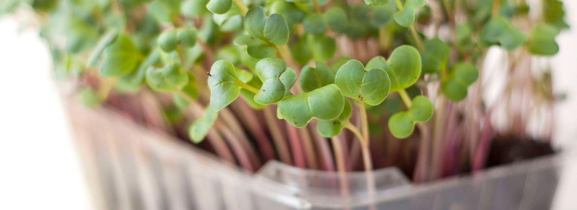 Sprout Radish