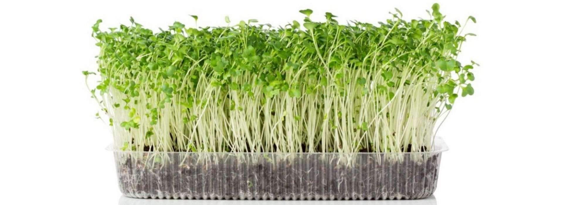 Wheat Grass Cress