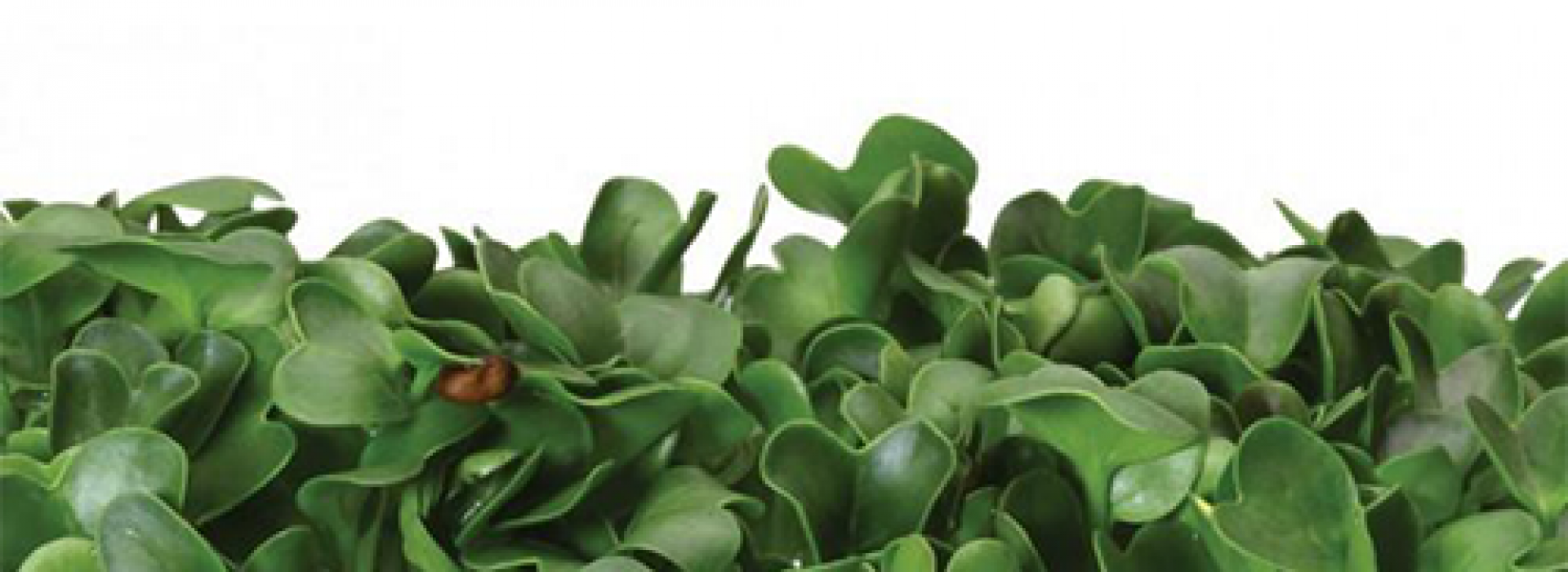 Brocco Cress